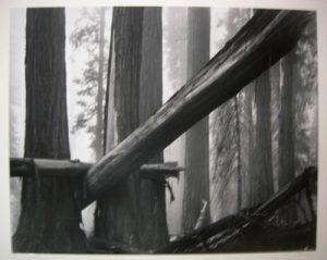 BRUCE BARNBAUM Fallen Sequoias